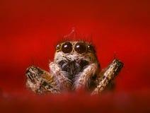 Gestreepte het springen spin Stock Afbeeldingen