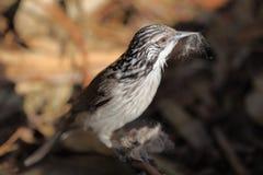 Gestreepte Honeyeater-vogel royalty-vrije stock foto's
