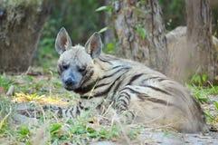 Gestreepte hyena Royalty-vrije Stock Afbeeldingen