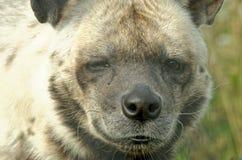 Gestreepte Hyena Stock Afbeeldingen