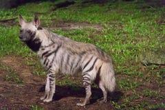 Gestreepte hyena in een donker bos tijdens nacht Stock Afbeelding