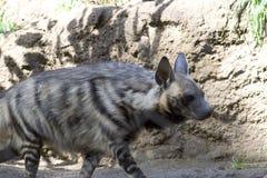 Gestreepte Hyena (hyaena Hyaena) Royalty-vrije Stock Foto's