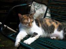Gestreepte kat Stock Foto's