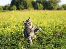 gestreepte kat die op de groene duidelijke dag van de weidezomer lopen stock foto