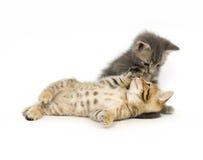 Gestreepte kat en grijs katje Stock Afbeeldingen