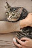 Gestreepte kat jonge kat stock foto's