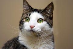 Gestreepte kat met het witte kijken Stock Afbeelding