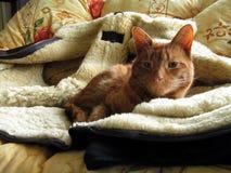 Gestreepte kat op schapehuidjasje Royalty-vrije Stock Foto