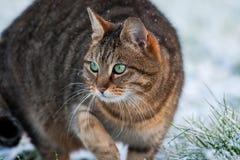 Gestreepte katkat de jacht in sneeuw Royalty-vrije Stock Foto's
