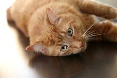 Gestreepte katkat die de camera bekijken Royalty-vrije Stock Afbeelding