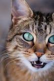 Gestreepte katkat die direct omhoog camera bekijken Royalty-vrije Stock Fotografie