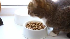 Gestreepte katkat die droog voedsel van een kom eten stock videobeelden