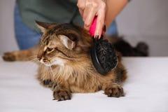 Gestreepte katkat die en wordt van schoongemaakt genieten en wordt gekamd liggen Het kammen van de bont grijze gestreepte kat Het stock afbeeldingen