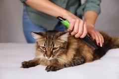 Gestreepte katkat die en wordt van schoongemaakt genieten en wordt gekamd liggen Het kammen van de bont grijze gestreepte kat Het royalty-vrije stock fotografie