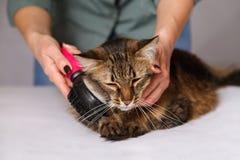 Gestreepte katkat die en wordt van schoongemaakt genieten en wordt gekamd liggen Het kammen van de bont grijze gestreepte kat Het stock foto's