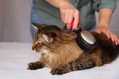 Gestreepte katkat die en wordt van schoongemaakt genieten en wordt gekamd liggen Het kammen van de bont grijze gestreepte kat Het royalty-vrije stock afbeelding
