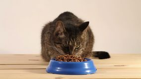 Gestreepte katkat die kattenvoedsel eten stock footage
