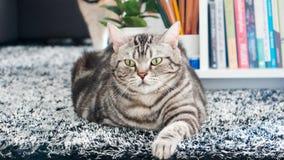 Gestreepte katkat die op bont zwarte deken liggen Amerikaans Kort Haar Royalty-vrije Stock Afbeeldingen