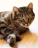 Gestreepte katkat die op de vloer en de blikken liggen Stock Fotografie