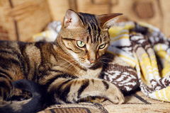 Gestreepte katkat die op een bank thuis liggen royalty-vrije stock afbeelding