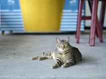 Gestreepte katkat die vooruit eruit zien Royalty-vrije Stock Foto's