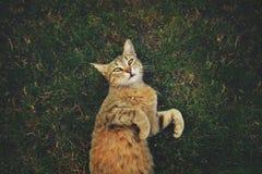 Gestreepte katkat in het gras die omhoog eruit zien Royalty-vrije Stock Afbeeldingen