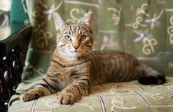 Gestreepte katkat het liggen Stock Afbeeldingen