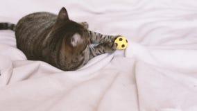 Gestreepte katkat het spelen met een stuk speelgoed op de laag stock video