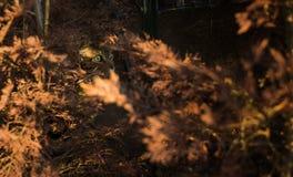 Gestreepte katkat het verbergen onder de bomen van de herfst Stock Afbeelding