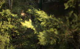 Gestreepte katkat het verbergen onder de bomen van de tuin Royalty-vrije Stock Fotografie