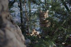 Gestreepte katkat het verbergen onder de bomen van de tuin Stock Fotografie