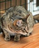 Gestreepte katkat i Royalty-vrije Stock Foto