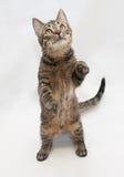 Gestreepte katkat met gele ogen die zich op achterste benen bevinden Royalty-vrije Stock Foto