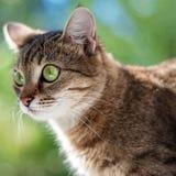 Gestreepte katkat met groene ogen Stock Foto's