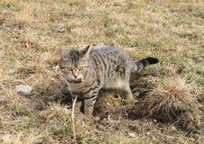 Gestreepte katkat - nieuwsgierig katje royalty-vrije stock foto