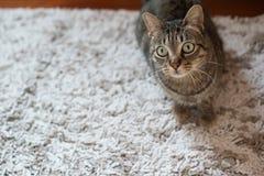 Gestreepte katkat op een tapijt Royalty-vrije Stock Afbeeldingen