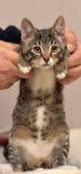 Gestreepte katkatje stock foto