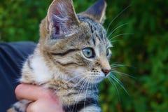 Gestreepte katkatje Stock Fotografie