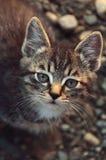 Gestreepte katkatje die de camera bekijken Royalty-vrije Stock Afbeeldingen