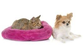 Gestreepte katkatje en chihuahua Royalty-vrije Stock Afbeeldingen