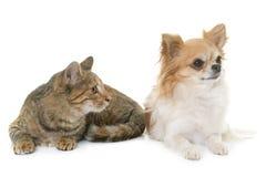 Gestreepte katkatje en chihuahua Stock Afbeeldingen