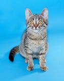Gestreepte katkatje met gele ogen die op blauw zitten Stock Foto
