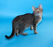 Gestreepte katkatje met gele ogen die zich op blauw bevinden Royalty-vrije Stock Fotografie