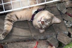 Gestreepte kattenslaap met het draaien van gezicht - omhoog op de vloer de kat is een klein geacclimatiseerd vleesetend zoogdier  royalty-vrije stock foto's
