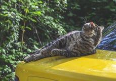 Gestreepte kattenwassen die op de bonnet van de gele auto liggen stock foto