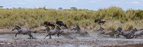 Gestreepte kruising een rivier in Nationale Serengeti Stock Fotografie