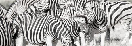 Gestreepte langwerpige kudde royalty-vrije stock foto's