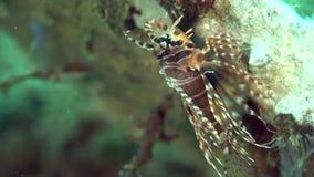 Gestreepte lionfish Dendrochirus zebraon de koralen in Zoeloes overzees Dumaguete stock video