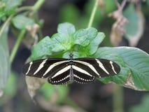 Gestreepte Longwing Vlinder 1 Royalty-vrije Stock Afbeelding