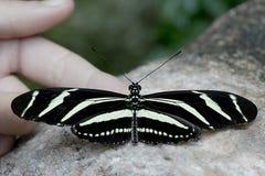Gestreepte Longwing-vlinder Stock Fotografie